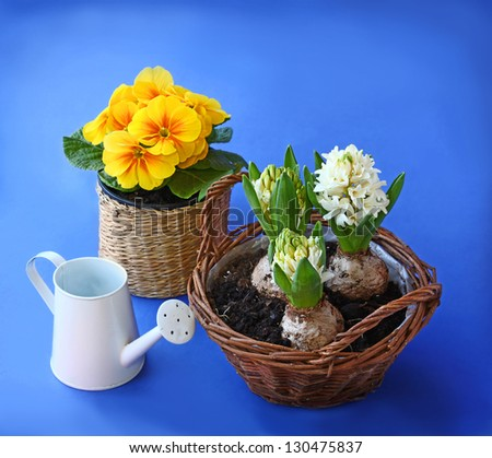 White hyacinths and yellow primula near the white watering can on a blue background