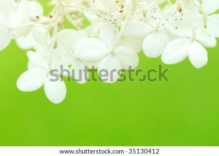 White Hydrangea,Closeup.
