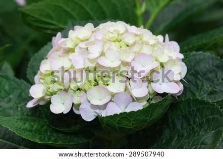 white Hydrangea flower (Hydrangea macrophylla) in a garden