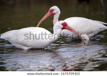 White ibis bird Eudocimus albus wades through a marsh and forages for food in the Myakka River in Sarasota, Florida.