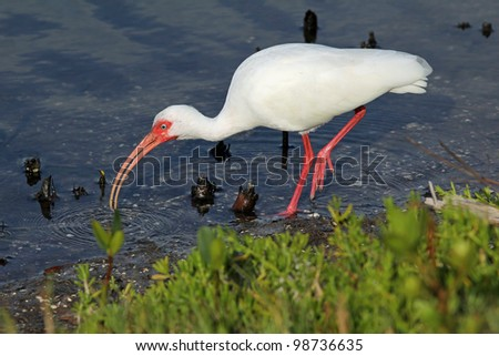 White Ibis (Eudoctricimus albus) - Ding Darling National Wildlife Refuge, Sanibel Island, Florida