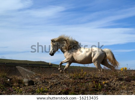 White Icelandic horse running by the road