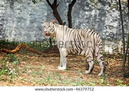 White tiger in india