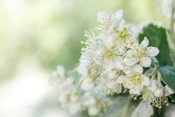 White inflorescences of mountain ash Sorbus intermedia close-up. White flowers on a blurry green background for a spring-themed design. macro High key