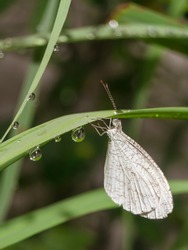 White Insect butterfly on the wet leaf