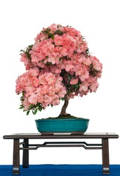 White isolated azalea as bonsai tree with flowers