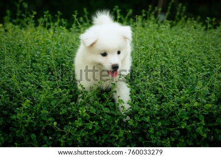 Young Samoyed Dog In The Grass Ez Canvas