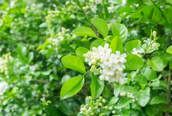 White Jasmine flower with green leaf nature background,fragrant smell good for aroma oil,Satin-wood,Cosmetic bark tree