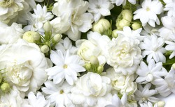 White jasmine flowers fresh flowers natural backgrounds.