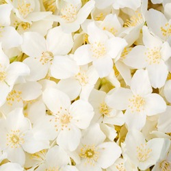 White Jasmine flowers seamless background. Close up image.