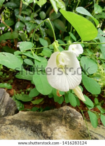 White Katarolu flower commonly known as Asian pigeonwings,bluebellvine, blue pea, butterfly pea, cordofan pea and Darwin pea,is a plant species belonging to the family Fabaceae.