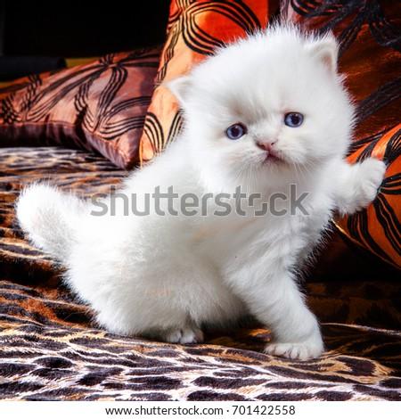 White Kitten #701422558