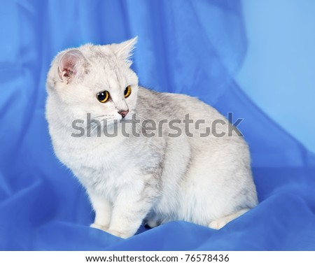 White kitten on blue background