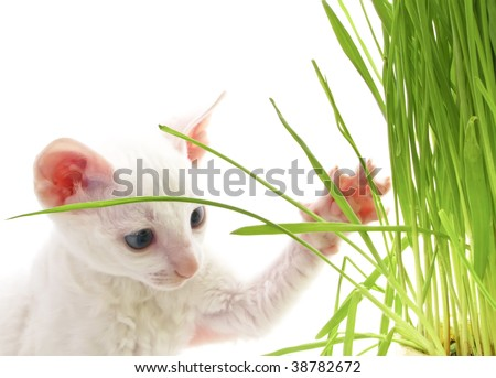White Kitten Playing with Grass