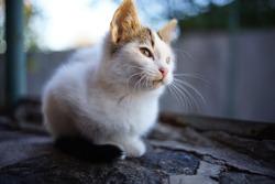 White kitten relaxes in the garden at sunset.