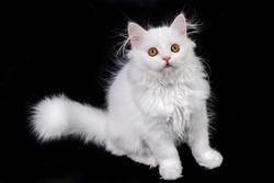 white kitten scottish cat on a black background