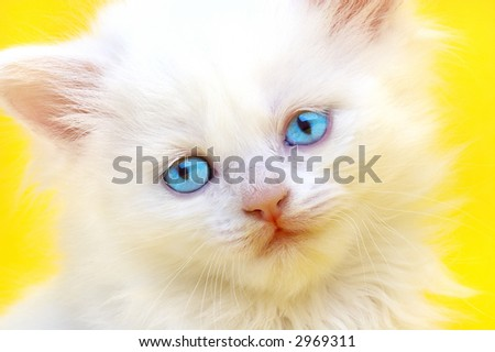 White kitten with blue eyes. On a yellow background.