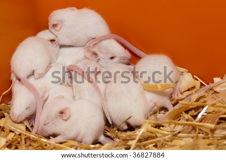 White Lab Mouse nest with cubs