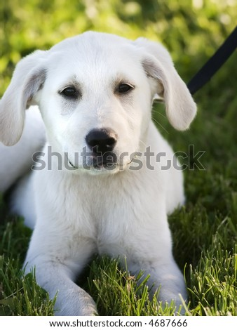 White  Puppies on White Lab Puppy Lying In The Grass Stock Photo 4687666   Shutterstock