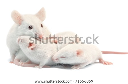 White laboratory mice: mother with pups, which are 9 days old; isolated on white