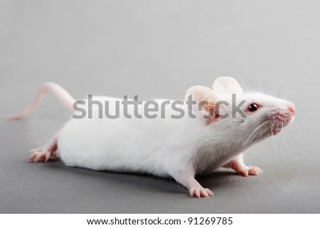 white laboratory mouse isolated on grey background