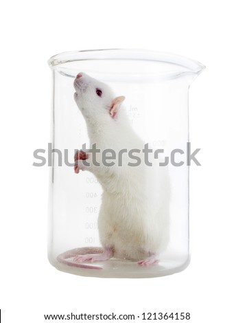 White laboratory rat in chemical flask