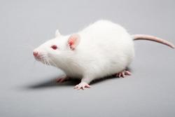 white laboratory rat isolated on grey background
