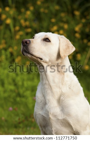 White Labrador Female Portrait