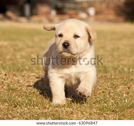 White Labrador puppy runs on grass  in sunshine