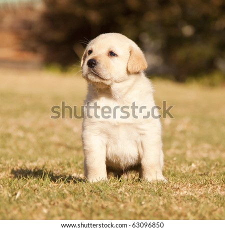 White Labrador puppy sits on grass in the sunshine