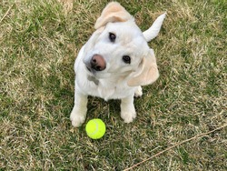 White Labrador Retriever puppy sitting in grass, looking up at the camera with its head tilted to the left.  Bright yellow tennis ball near dog's front paw on brown and green grassy background.