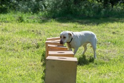 White Labrador Retriever sniffs a row of containers in search of one with a hidden object. Training to train service dogs for the police, customs or border service.