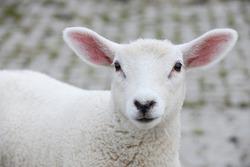 white lamb looking