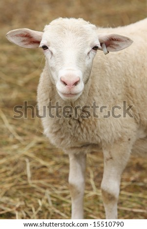 White lamb with tagged ear against background of blurred straw. Vertical format.