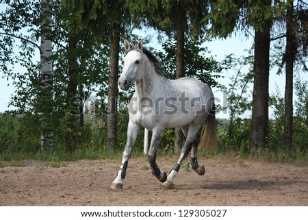 White latvian breed horse trotting at the field near the trees