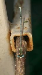 White-legged Damselfly or blue featherleg (lat. Platycnemis pennipe)