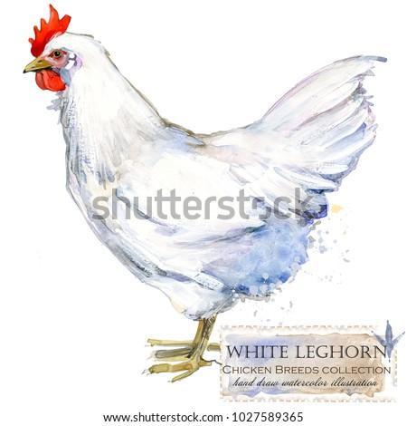 White Leghorn hen. Poultry farming. Chicken breeds series. domestic farm bird