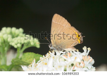 White-letter Hairstreak Butterfly - Satyrium w-album
