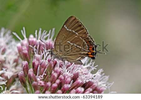 White-letter hairstreak butterfly (Satyrium w-album) on a Hemp-agrimony flower in Italy, Europe