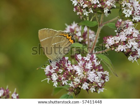 White-letter Hairstreak Butterfly - Satyrium w-album On Marjoram - Origanum vulgare - stock photo