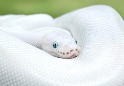 White Leucistic Ball Python Snake