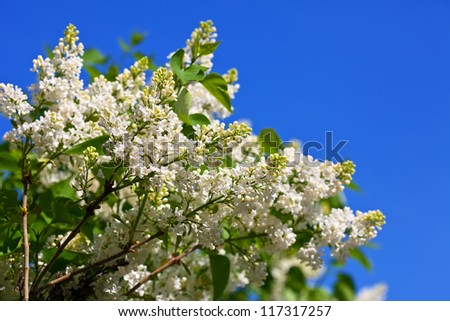 White lilac branch against blue sky with copyspace