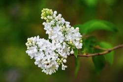 White lilac branch in the garden. Selective focus.