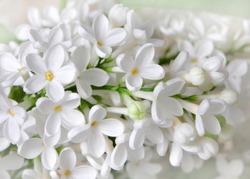 White lilac flowers closeup