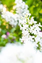 White lilac flowers on bokeh green background. Spring wallpaper. White blossom flowers. Summer sunny day