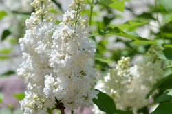 White lilac. Selective focus