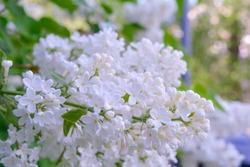 White Lilac shrub flowers blooming in spring garden. Common lilac Syringa vulgaris bush. Close-up with soft focus of a branch on a lilac tree