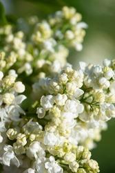 "White lilac variety ""Obelisque"