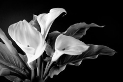 white lilies bunch against black background