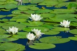 white lilies on a lake
